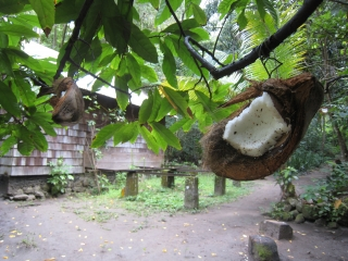 Coconuts for birds!